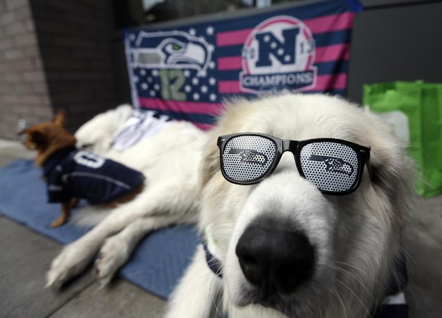 A dog names Smoky sits outside CenturyLink Field before the NFL football NFC Championship game between the Green Bay Packers and the Seattle Seahawks Sunday, January 18, 2015, in Seattle. (Photo by David J. Phillip/AP Photo)
