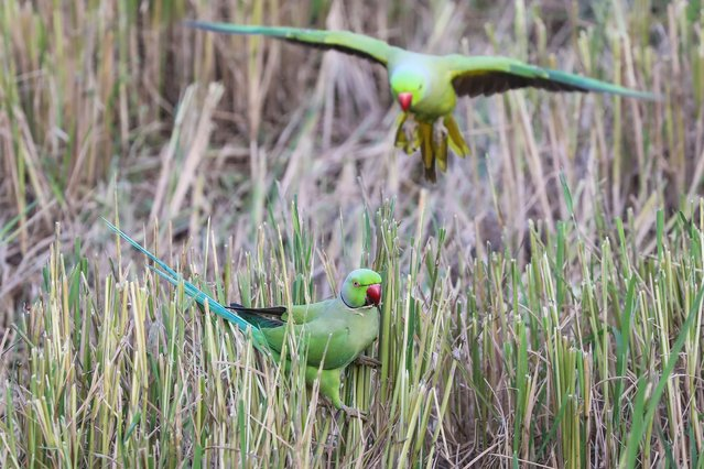 Two rose-ringed parakeets (Psittacula krameri), also known as the ring-necked parakeet, search for food on a paddy field in the suburbs of​ Colombo, Sri Lanka, 11 February 2020. (Photo by Chamila Karunarathne/EPA/EFE)