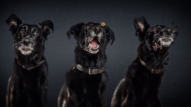 """A half-breed dog. """"For me, it's all about the moments when the dogs are trying to catch the food"""". (Photo by Christian Vieler/Caters News)"""