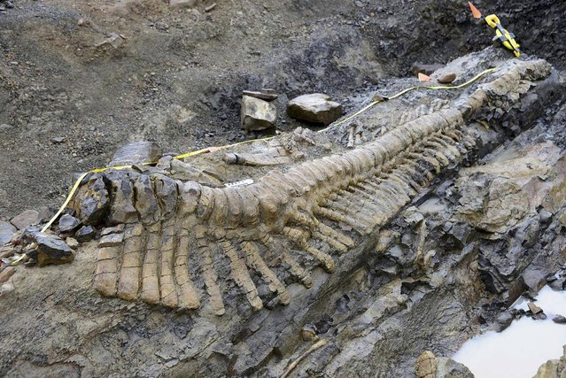 In this undated image released by Mexico's National Anthropology and History Institute (INAH) on Monday, July 22, 2013, the tail of a dinosaur is uncovered at a paleontological dig site near the town of General Cepeda in northern Mexico. Paleontologists say they have uncovered 50 vertebrae believed to be a full dinosaur tail that they say resembles the remains of a hadrosaur or crested duckbill dinosaur. Paleontologist Felisa Aguilar said they uncovered roughly half of the dinosaur which was 36 feet (12 meters) long and lived 72 million years ago. (Photo by Mauricio Marat/AP Photo/INAH)