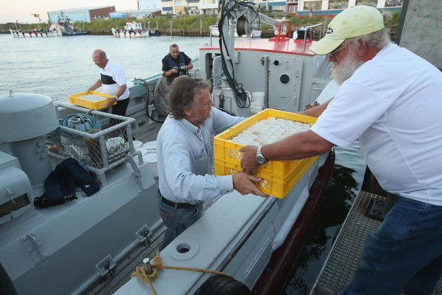 Volunteers with the Helgoland Biological Institute (Biologische Anstalt Helgoland), part of the Alfred Wegener Institute for Polar and Marine Research, load trays of baby European lobsters (Homarus gammarus) onto a boat to release them into the North Sea on August 3, 2013 at Helgoland Island, Germany. (Photo by Sean Gallup/Getty Images)