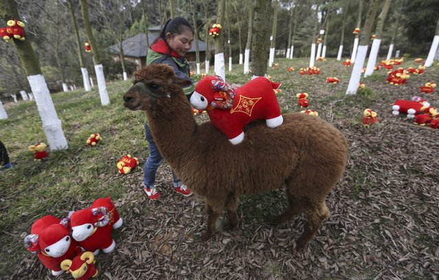 A zookeeper places a goat-shaped doll onto the back of an alpaca during a celebration event for the upcoming Spring Festival, at a wildlife park in Kunming, Yunnan province February 11, 2015. The Chinese Lunar New Year on February 19 will welcome the Year of the Sheep (also known as the Year of the Goat or Ram). (Photo by Wong Campion/Reuters)