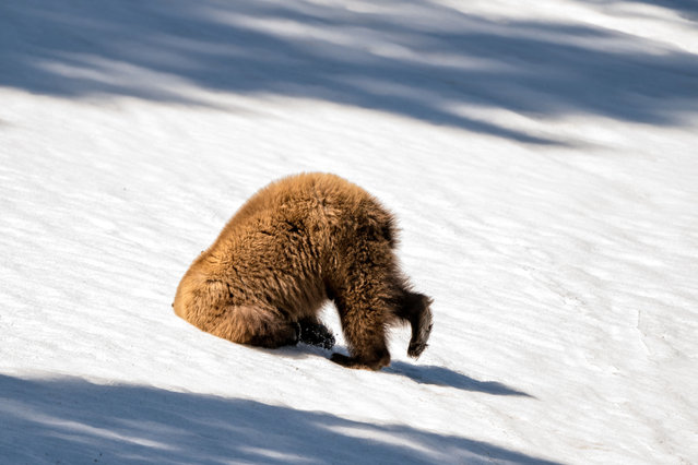 A grizzly bear buries its head in the snow. (Photo by Patty Bauchman/Barcroft Images/Comedy Wildlife Photography Awards)