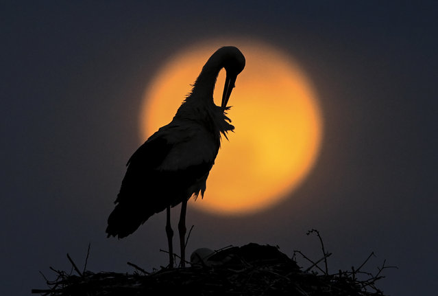 The Super Pink Moon rises behind the stork in a nest in the village of Rzanicino near Skopje, Republic of North Macedonia, 26 April 2021. The super full moon is named this way because it is at its closest to earth and thus appears bigger than a normal full moon. (Photo by Georgi Licovski/EPA/EFE)