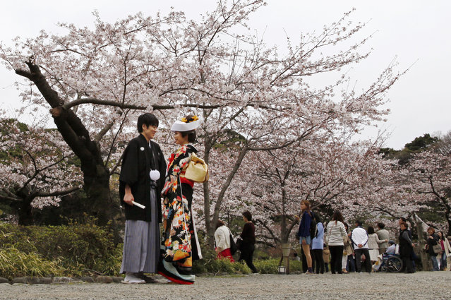 Standing in front of blooming cherry blossoms a couple pose for their wedding pictures at Sankeien Park in Yokohama, south of Tokyo, Sunday, March 29, 2015. (Photo by Shuji Kajiyama/AP Photo)