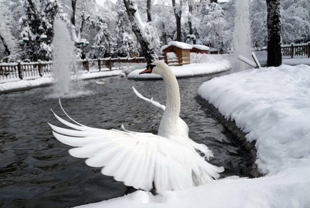 A swan flaps its wings in an icy pond at the Kugulu Park public garden in Ankara, Turkey, Wednesday, December 26, 2016. Winter storms and snowfalls that began Tuesday remains in effect for a large swath of Turkey, damaging trees, causing road accidents and closure of schools in many cities, including Istanbul and Ankara, hours after the snow falls blanketed the country. (Photo by Burhan Ozbilici/AP Photo)