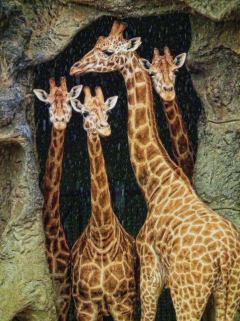 """""""Bonding"""". This image was taken in Sydney Australia at the Toronga Zoo on sydney harbour. I was just watching the the giraffes walking around the enclosure they weren't doing anything very exciting and then it started to rain very heavily. (Photo and caption by Cory Kipa (New Zealand)/2014 Sony World Photography Awards)"""