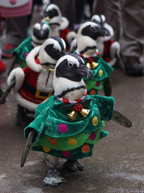 Penguins dressed in Santa and Christmas tree costumes are paraded at Everland, South Korea's largest amusement park on December 18, 2013 in Yongin, South Korea. (Photo by Chung Sung-Jun/Getty Images)