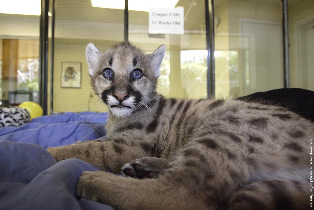 Cougar Cub
