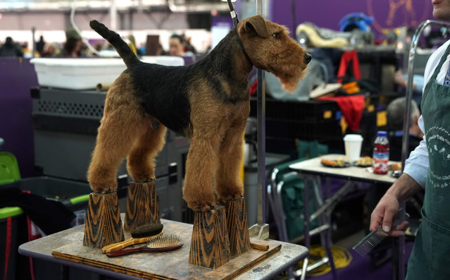 A Welsh Terrier stands in the benching area during the Daytime Session in the Breed Judging across the Hound, Toy, Non-Sporting and Herding groups at the 143rd Annual Westminster Kennel Club Dog Show at Pier 92/94 in New York City on February 11, 2019. (Photo by Timothy A. Clary/AFP Photo)