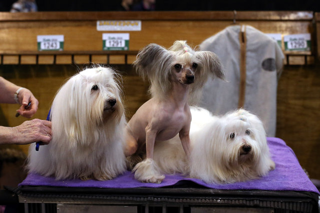 Owner Elizabeth Wilson groomes her Chinese Crested and Coton De Tulear dogs during the annual Crufts Dog Show at the NEC Arena in Birmingham, Britain, March 10, 2016. The world's largest dog show will be held from March 10 to 13  with 22,000 dogs competing for the world class title of Crufts Best In Show. (Photo by Nigel Roddis/EPA)