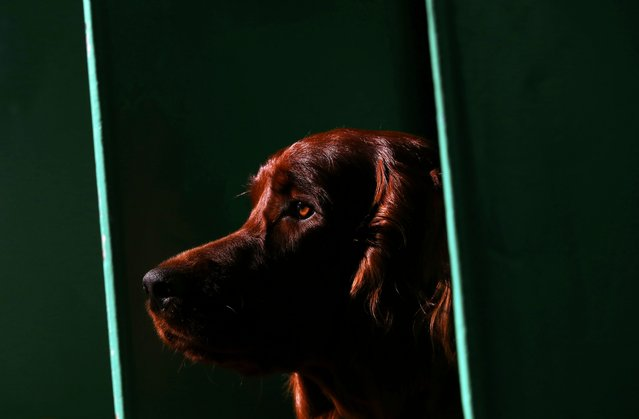 An Irish Setter stands on its bench during the second day of the Crufts Dog Show in Birmingham, Britain March 11, 2016. (Photo by Darren Staples/Reuters)