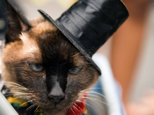 "A cat in a hat attends the animals' carnival parade ""Blocao"" at Copacabana in Rio de Janeiro. (Photo by Christophe Simon/AFP Photo)"