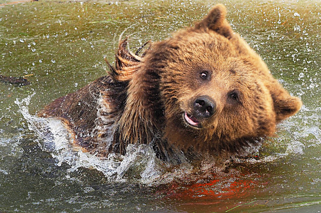 A European brown bear has fun splashing in its pool at Whipsnade zoo in Whipsnade, England on April 16, 2019. (Photo by Tony Margiocchi/Barcroft Images)