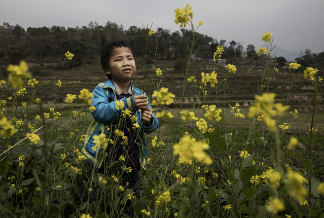 """""""Left behind"""" child Luo Lie,5, picks flowers as he does chores in the fields with his siblings on December 18, 2016 in Anshun, China. (Photo by Kevin Frayer/Getty Images)"""