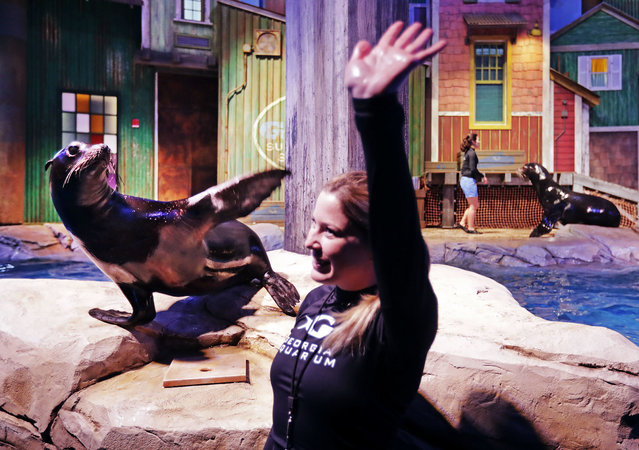 In this Monday, March 28, 2016 photo, Scout, a rescued California sea lion, and trainer Catrina Bloomquist wave to the crowd during a dress rehearsal for a new exhibit opening at the Georgia Aquarium. (Photo by David Goldman/AP Photo)