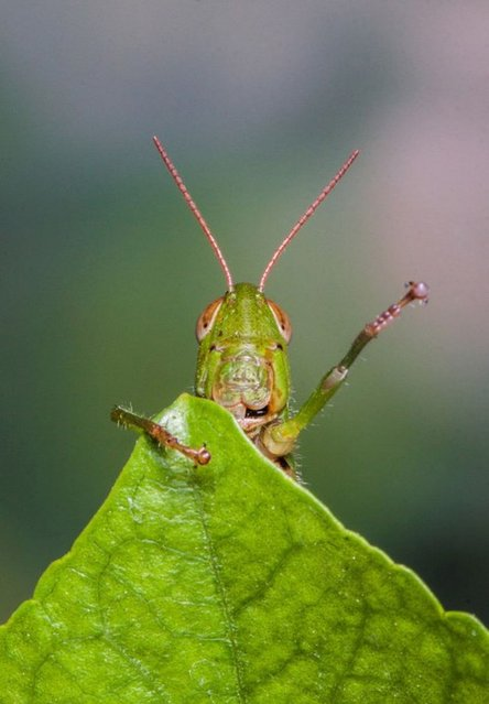 This friendly grasshopper looks like he's just scaled Everest as he climbs to the top of a leaf.The tiny insect appears to wave in triumph after getting to the summit of a large hibiscus tree leaf. (Photo by Solent News)