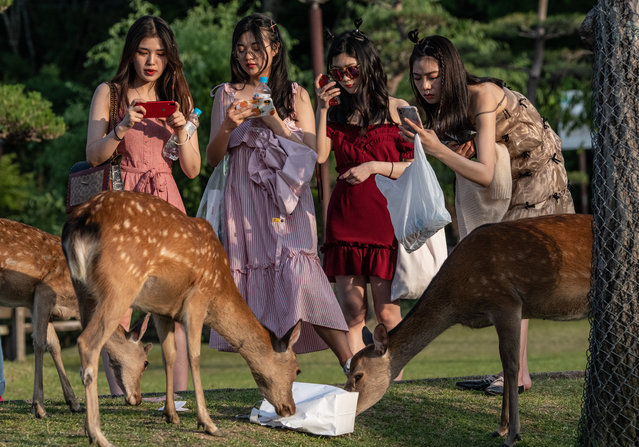 Tourists take photographs as a wild sika deer eats a bag on June 6, 2019 in Nara, Japan. Nara's free-roaming deer have become a huge attraction for tourists. However, an autopsy on a deer that was recently found dead near one of the city's famous temples discovered 3.2kg of plastic in its stomach and caused concern at the effect of tourism as Japan struggles to cope with a huge increase in domestic and international tourists. Alongside a growing Japanese tendency to holiday domestically, a record 31 million people visited the country in 2018 up 8.7 percent from the previous year, with many people now worrying about the environmental impact caused by such large visitor numbers. (Photo by Carl Court/Getty Images)