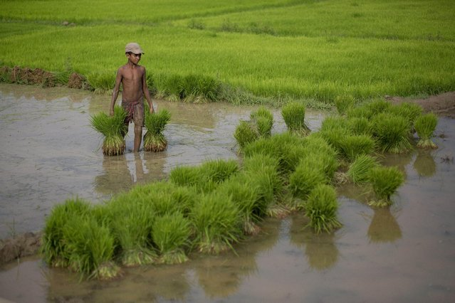 A small boy helps with plantation at a paddy field at Reba Maheswar village, 56 kilometers (35 miles) east of Gauhati, India, Friday, July 3, 2015. Rice is one of the most important food crops of India and about 4,000 different varieties are grown in different parts of the country. (Photo by Anupam Nath/AP Photo)