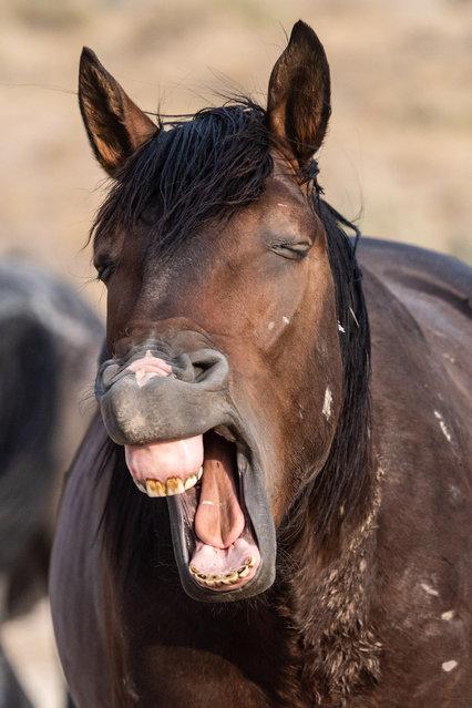 This wild stallion looks like hes yawning. (Photo by Jami Bollschweiler/Mercury Press/Caters News Agency)
