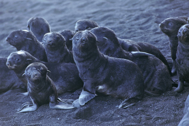 This August 2019 photo released by the National Oceanic and Atmospheric Administration Fisheries (NOAA) shows northern fur seal pups standing on a beach on Bogoslof Island, Alaska. Alaska's northern fur seals are thriving on an island that's the tip of an active undersea volcano. Numbers of fur seals continue to grow on tiny Bogoslof Island despite hot mud, steam and sulfurous gases spitting from vents on the volcano. (Photo by Maggie Mooney-Seus/NOAA Fisheries via AP Photo)