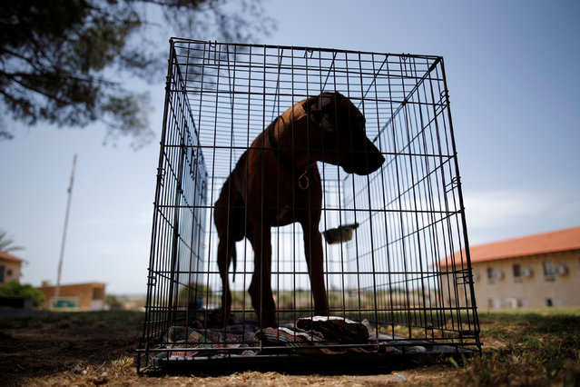 A dog is seen in a cage during an international dog exhibition in Kannot, central Israel May 21, 2016. (Photo by Amir Cohen/Reuters)