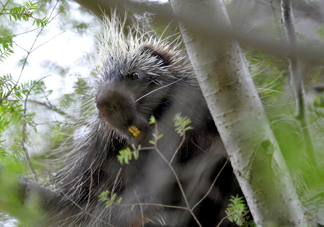 A porcupine looks down from a tree inside of Ricketts Glen State Park, Monday, May 19, 2014 in Benton, Pa. (Photo by Andrew Krech/AP Photo/ Citizens' Voice)