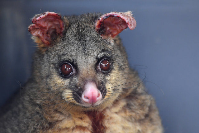 A brushtail possum whose ears and legs have been burnt from recent bushfires sits in a cage before being transported to a wildlife hospital, in Batemans Bay, South of Sydney, Australia, 14 January 2020. (Photo by Steven Saphore/EPA/EFE)