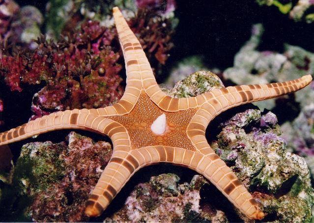 Conaster Iongimanus AKA The Icon Star Or Double Star