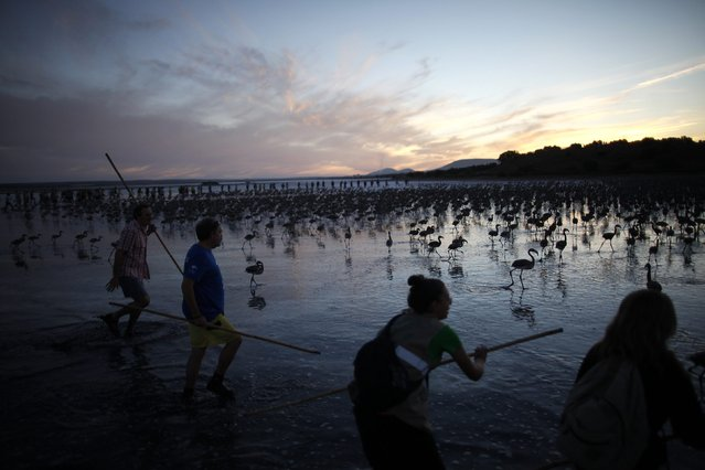Volunteers wade across the lagoon at dawn to gather flamingo chicks and place them inside a corral at the Fuente de Piedra natural reserve, near Malaga, southern Spain, July 19, 2014. Around 600 flamingos were tagged and measured before being placed in the lagoon, one of the largest colonies of flamingos in Europe, according to authorities of the natural reserve. (Photo by Jon Nazca/Reuters)