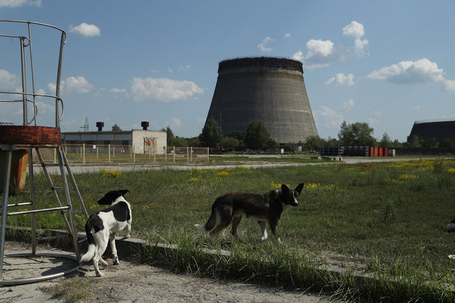Stray dogs hang out near an abandoned, partially-completed cooling tower at the Chernobyl nuclear power plant on August 18, 2017 near Chornobyl, Ukraine. (Photo by Sean Gallup/Getty Images)