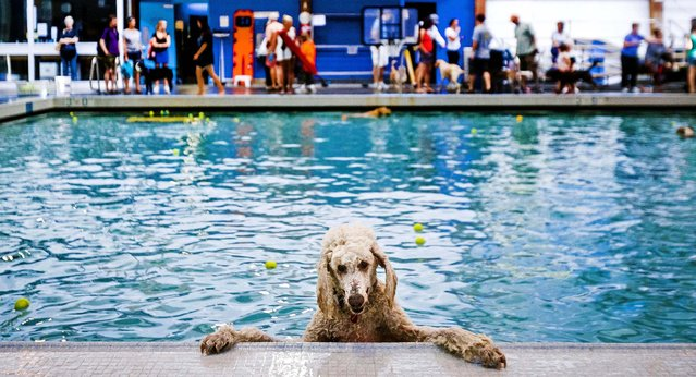 A dog hangs onto the edge of the Helene Madison Pool during an open dog swim – no humans allowed – in Seattle, on August 17, 2014. The event was made possible by an upcoming pool closure for preventive maintenance. (Photo by Jordan Stead/Seattlepi.com)
