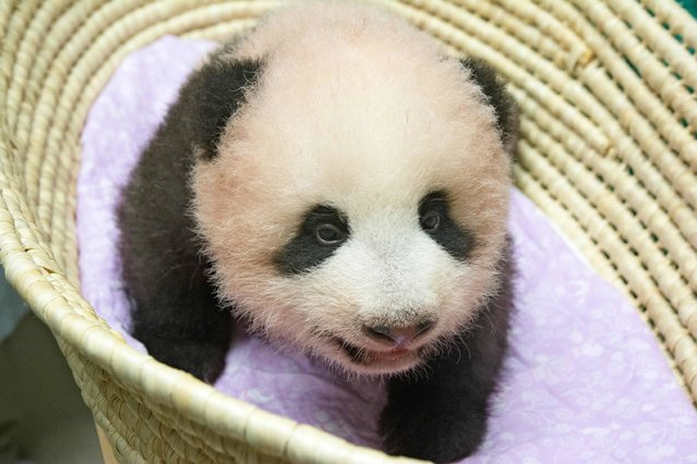 This handout from the Tokyo Zoological Park Society taken on September 10, 2017 and released on September 12 shows Ueno Zoo's 90-day-old female baby giant panda in Tokyo. The rare birth of the panda in June triggered a frenzy of media and public excitement in Japan, with businesses keen to cash in. (Photo by AFP Photo/Tokyo Zoological Park Society)