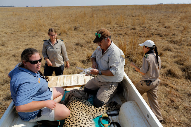 Dr Zoe Glyphis (L) and Dr Johan Marais (2-R) sit on the back of a pick-up with a cheetah they just darted to remove a malfunctioning collar at the Rietvlei Nature Reserve, Pretoria, South Africa, 07 September 2017. (Photo by Kim Ludbrook/EPA/EFE)