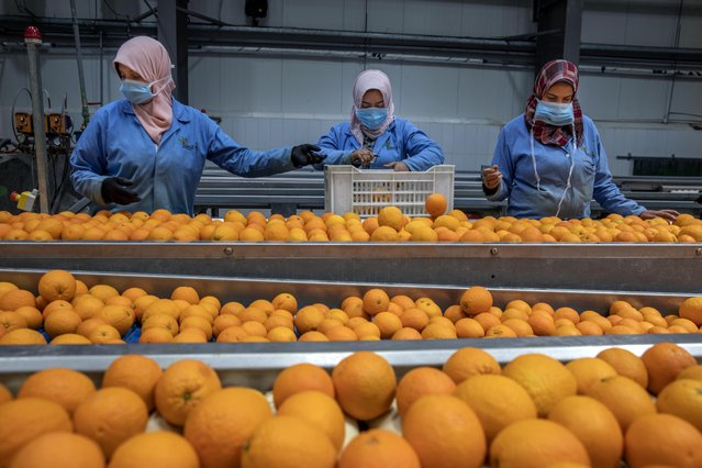 Workers at Egypt's agriculture and fruit exporting company, Gamco, wear face masks as a preventive measure because of the coronavirus pandemic, as they assemble oranges for export at a factory, in the Mediterranean province of Alexandria, Egypt, Wednesday, April 15, 2020. (Photo by Nariman El-Mofty/AP Photo)