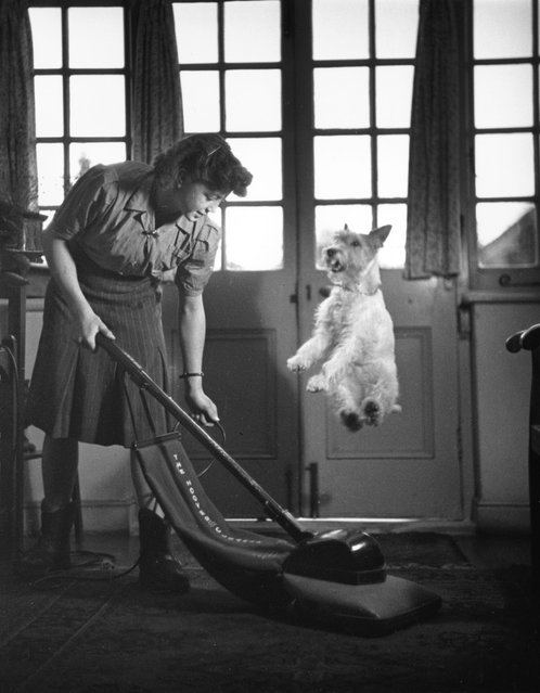 Asta, a wire-haired terrier, jumps to avoid being vacuumed up, 1949. (Photo by Kurt Hutton)