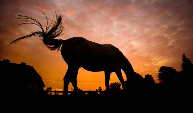 A horse grazes on a meadow near Hannover, Germany, on September 16, 2014. (Photo by Julian Stratenschulte/AP Photo)