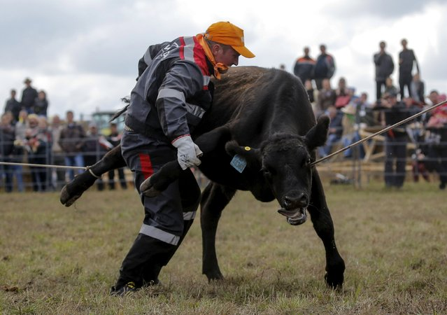 A participant tries to tie a steer during the Russian Rodeo in the village of Kotliakovo, Bryansk region, southeast of Moscow, Russia, September 12, 2015. (Photo by Maxim Shemetov/Reuters)