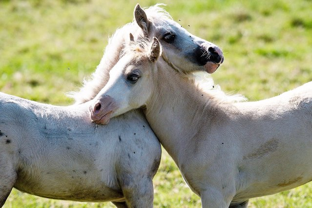 Welsh Mountain Pony foals play on a field by the village of Bishop's Itchington, Warwickshire on July 21, 2020. (Photo by Jacob King/PA Images via Getty Images)