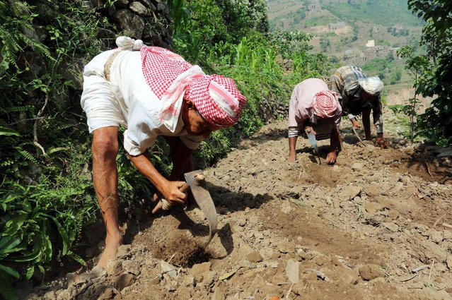 Men work in a farm on Dhalamlam Mountain, in the Jafariya district of the western province of Raymah, Yemen May 21, 2016. (Photo by Abduljabbar Zeyad/Reuters)