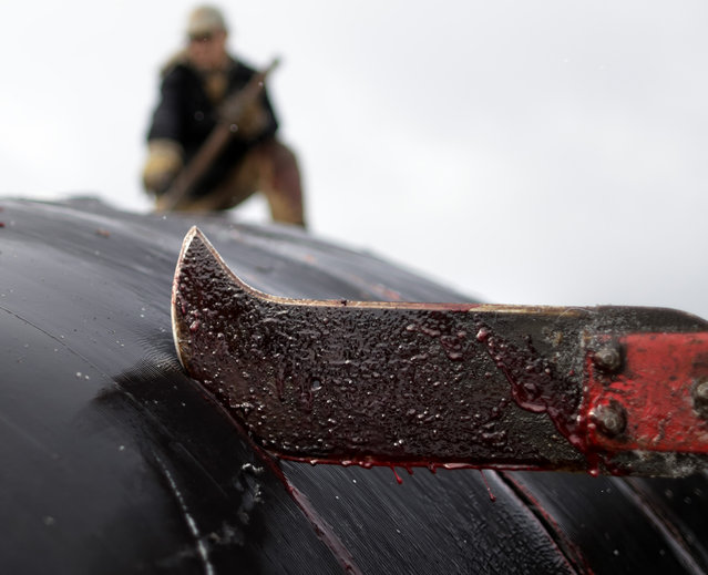 In this October 7, 2014, photo, a cutter slices through skin and blubber atop a bowhead whale in a field near Barrow, Alaska. Following tradition, a section of the skin and blubber will be reserved for the captain of the boat, who will open his home to the community for a feast in the coming days. (Photo by Gregory Bull/AP Photo)