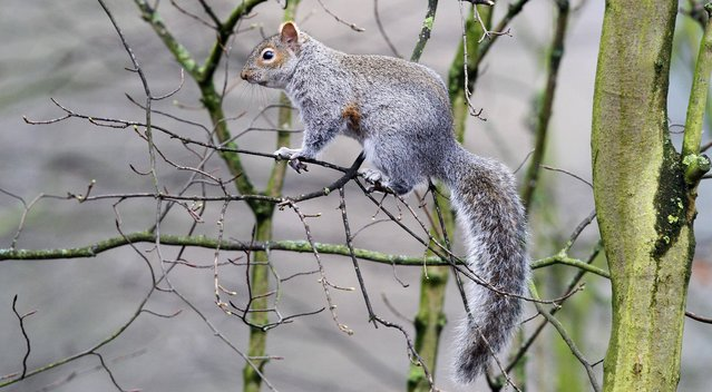 A Grey Squirrel in the trees at Calderstones Park, Woolton, Liverpool, on Friday March 8, 2013. (Photo by Peter Byrne/PA Wire)