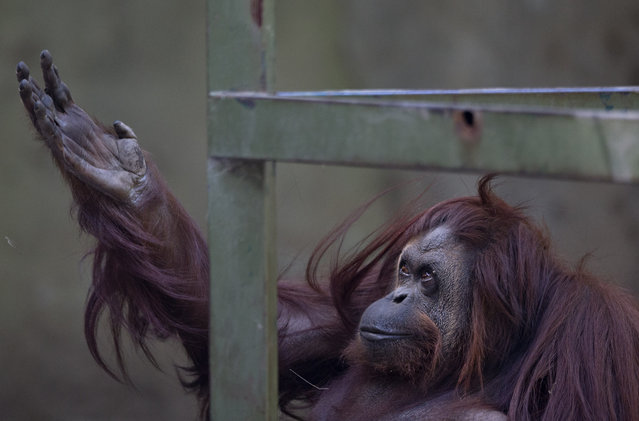 The orangutan named Sandra sits in her enclosure at Buenos Aires' Zoo in Buenos Aires, Argentina, Monday, December 22, 2014. An Argentine court has ruled that Sandra, who has spent 20 years at the zoo, should be recognized as a person with a right to freedom. (Photo by Natacha Pisarenko/AP Photo)