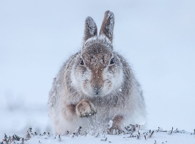 Snow hare by Rosamund Macfarlane. Finalist, Mammals. A hare gets its pelt coated in snow in the Scottish Cairngorms, Scotland. (Photo by Rosamund Macfarlane/Wildlife Photographer of the Year 2015)