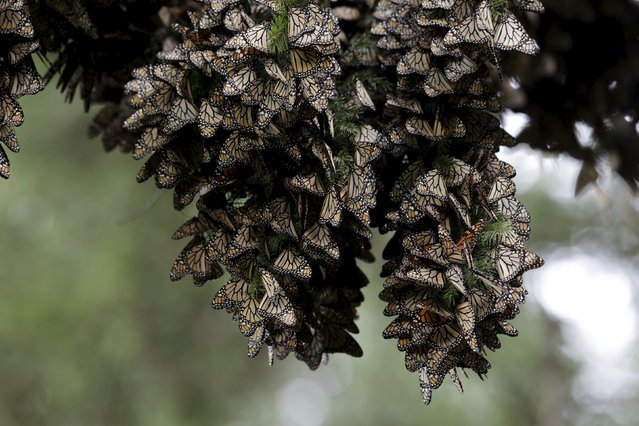 Monarch butterflies rest on a pine tree in Angangueo, Mexico, November 28, 2015. Thousands of striking orange and black monarch butterflies began arriving to their winter home in central Mexico on Saturday (November 28) in their annual migration. (Photo by Daniel Becerril/Reuters)