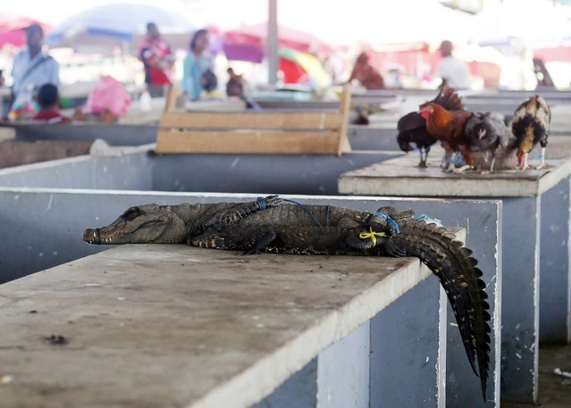 A crocodile is seen for sale at a food market in Bata, February 6, 2015. (Photo by Amr Abdallah Dalsh/Reuters)