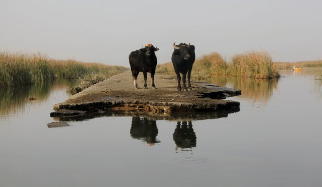 Two buffaloes gather by the waters of the Chebayesh marsh in Nassiriya, southeast of Baghdad, February 11, 2015. Picture taken February 11, 2015. (Photo by Alaa Al-Marjani/Reuters)