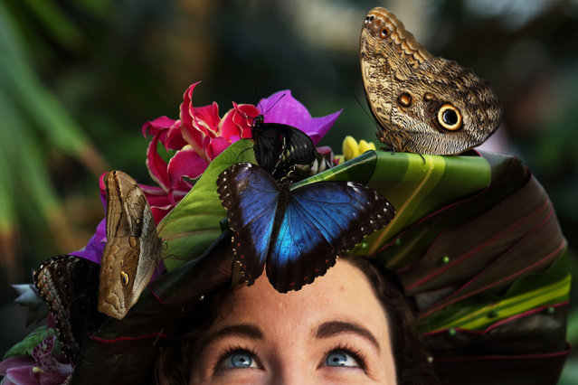 Entomologist Anna Platoni wears a hat made of tropical flowers made by florist Emma Reynolds with a Blue Morpho butterfly on her cheek to mark the opening of Butterflies in the Glasshouse at RHS Garden Wisley, south of London, on Janurary 15, 2016. (Photo by Luke MacGregor/PA Wire/RHS)