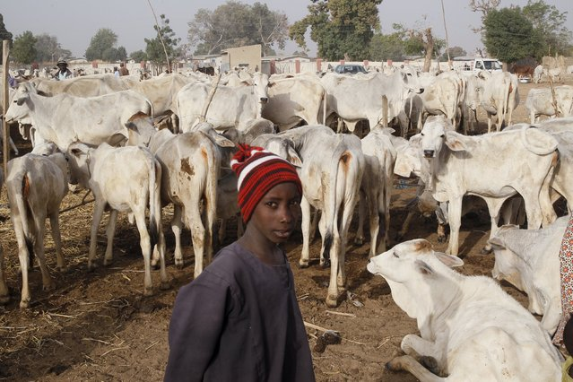 A tribal Fulani boy stands near cows at a local milk collecting centre in Dangwala Karfi village on the outskirts of Nigeria's northern city of Kano January 19, 2016. (Photo by Akintunde Akinleye/Reuters)