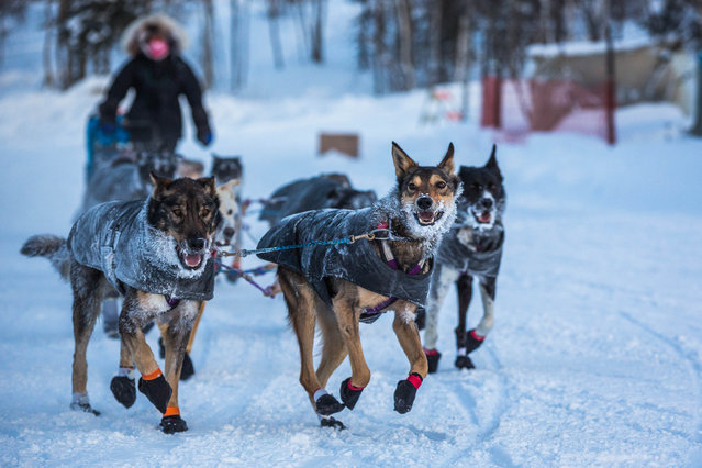 In this Friday, March 13, 2015, Jessie Royer and her team arrive at the Huslia, Alaska, checkpoint for the Iditarod Trail Sled Dog Race. (Photo by Loren Holmes/AP Photo/Alaska Dispatch News)